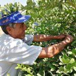 Agricultores piuranos mejorarán producción de limón con uso de controladores biológicos