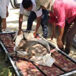 SERFOR rescata a venado que era criado como mascota en Chulucanas