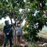 Acciones para erradicar y controlar la mosca de la fruta protegen la agricultura familiar en Piura