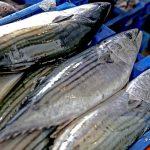 PRODUCE autoriza pesca exploratoria de bonito con la participación de embarcaciones artesanales